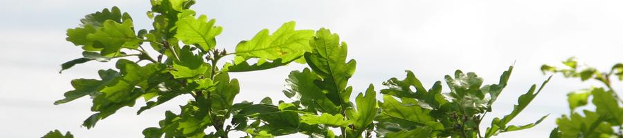 a-feuilles-chene