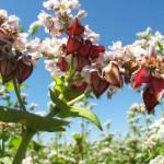 Fleurs et graines de Sarrasin